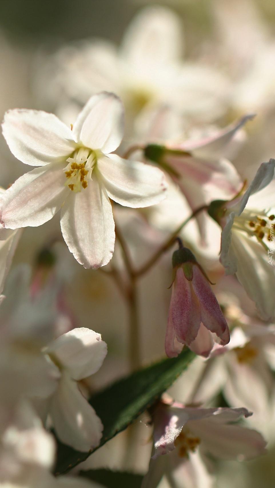 Białe kwiaty krzewu