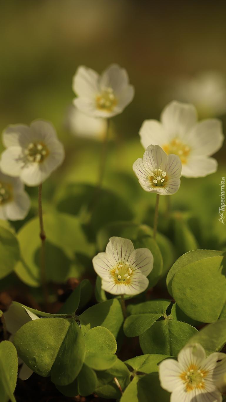 Białe kwiaty szczawika zajęczego