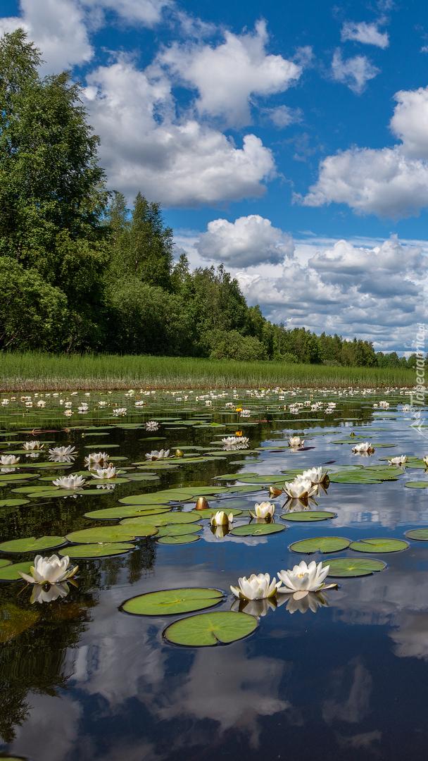 Białe lilie wodne na rzece