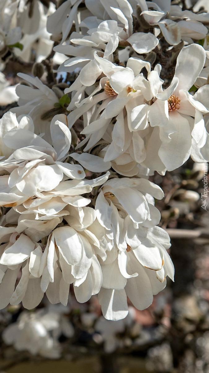 Białe magnolie