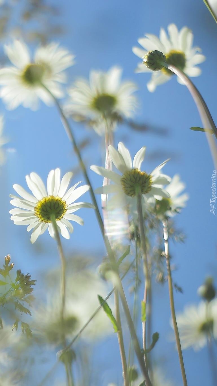 Białe margerytki