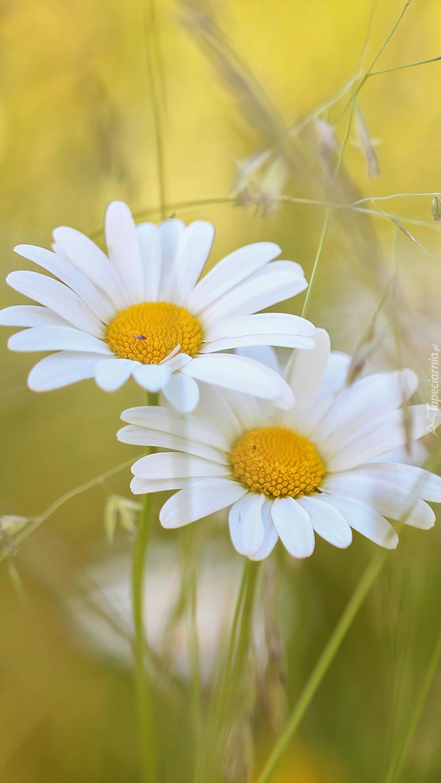 Białe margerytki ozdabiają trawę