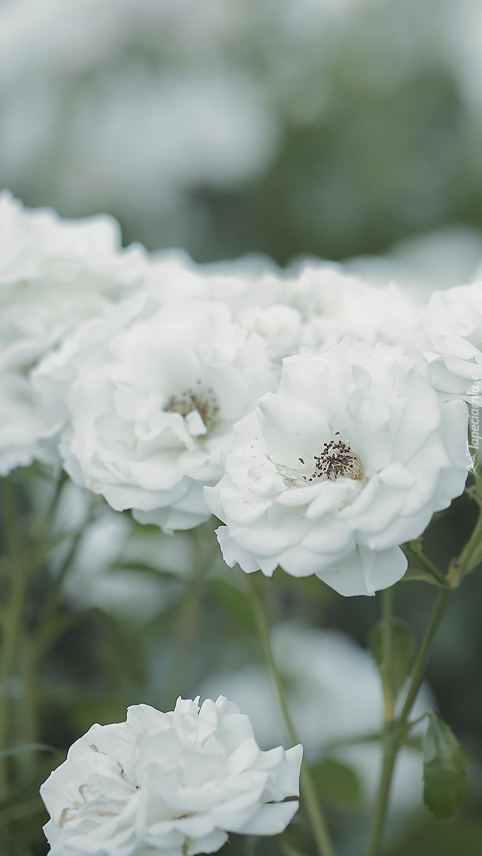 Białe róże w zbliżeniu