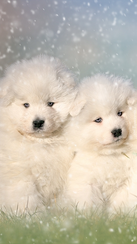 Białe szczeniaczki