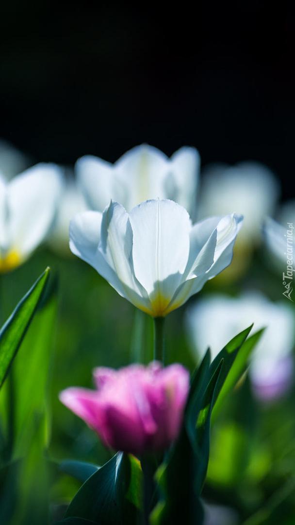 Białe tulipany w rozmyciu