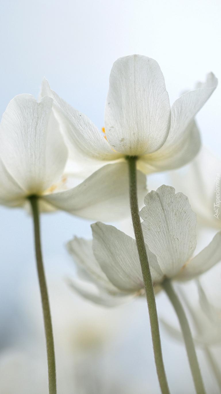 Białe zawilce
