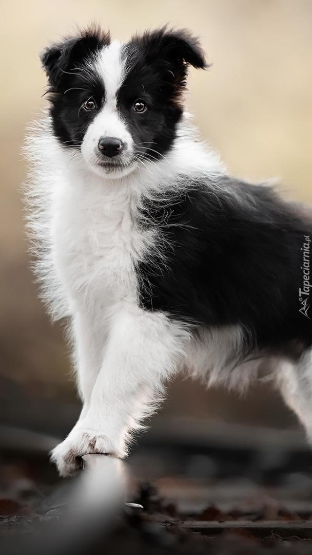 Biało-czarny szczeniak border collie