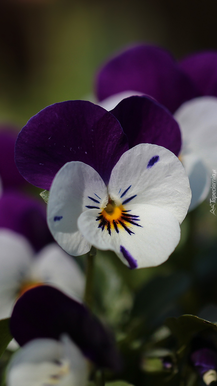 Biało-fioletowe bratki