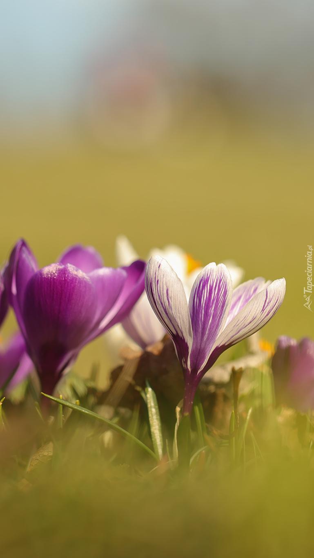 Biało-fioletowe krokusy