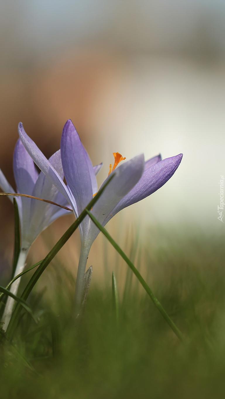 Biało-liliowe krokusy