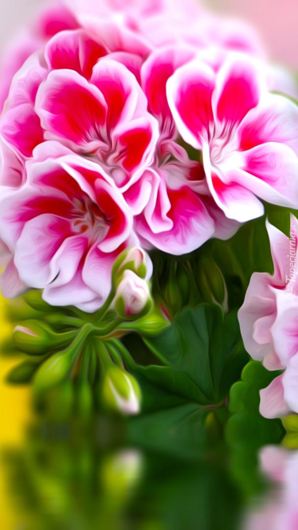 Biało-różowa pelargonia