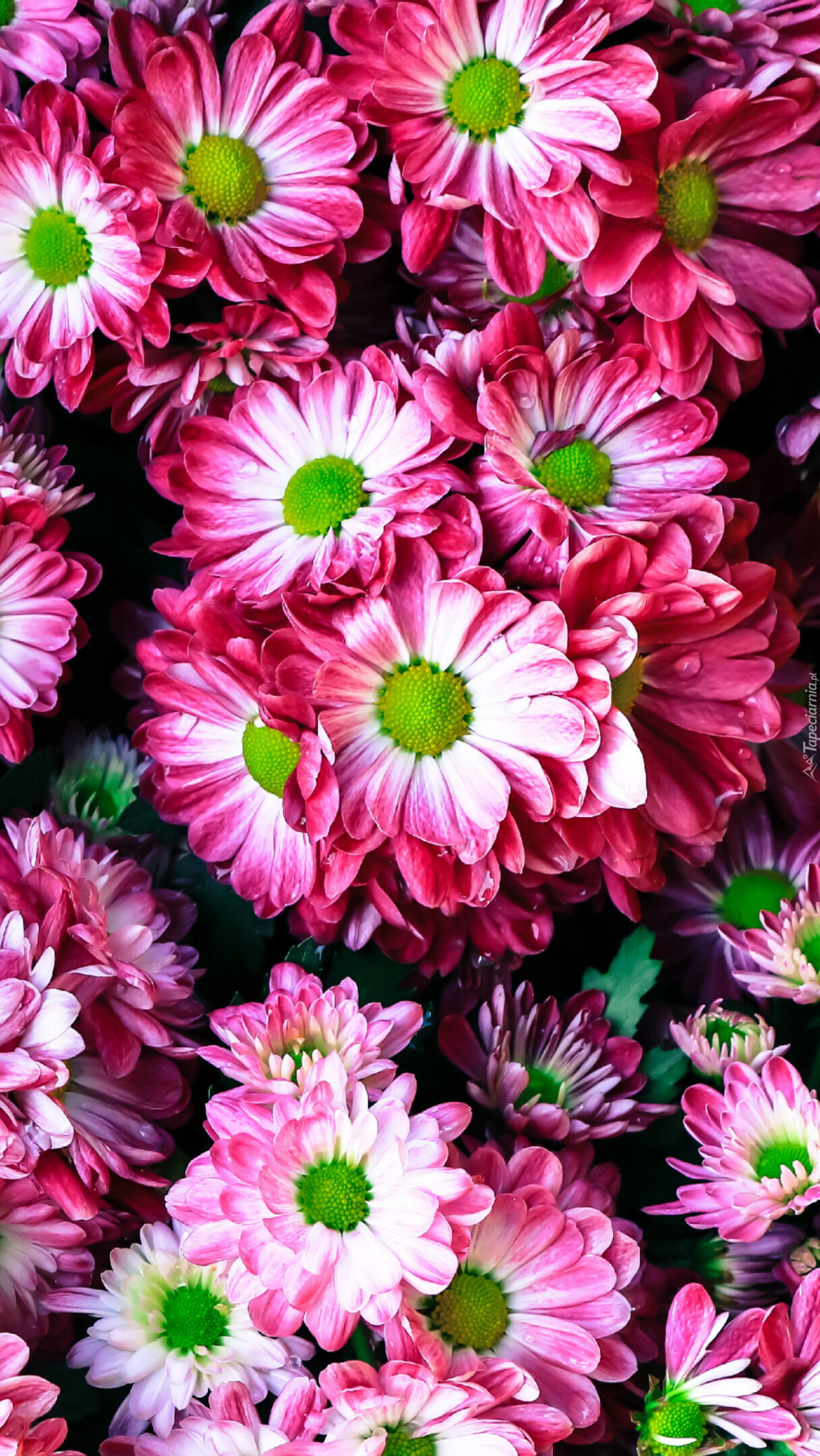 Biało-różowe chryzantemy
