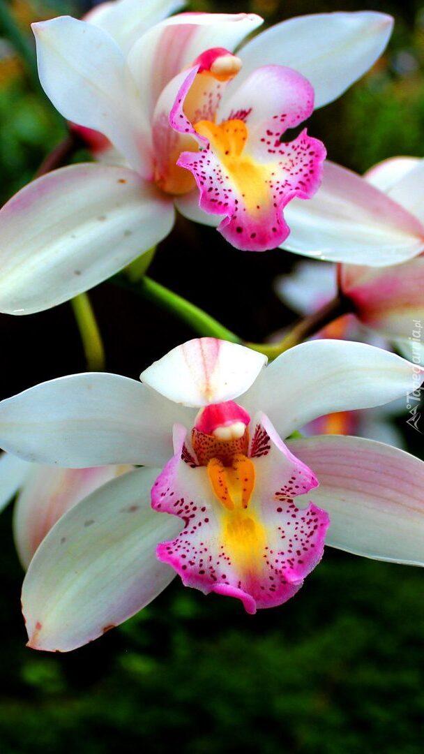 Biało-różowe storczyki