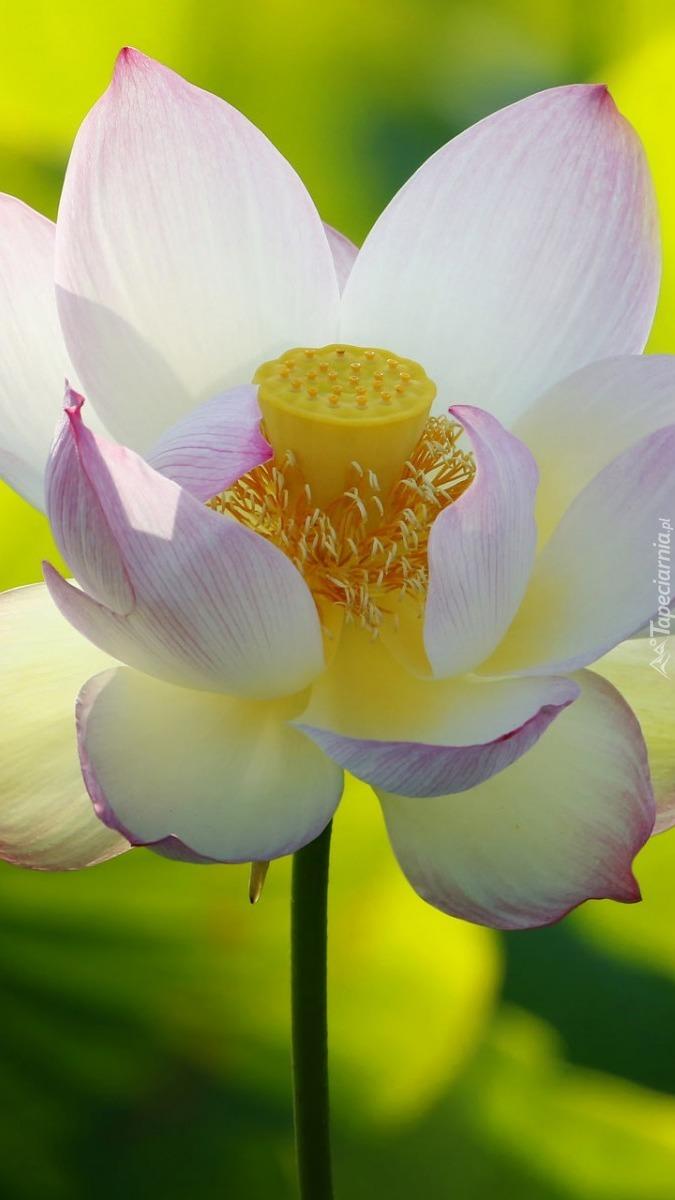 Biało-różowy kwiat lotosu
