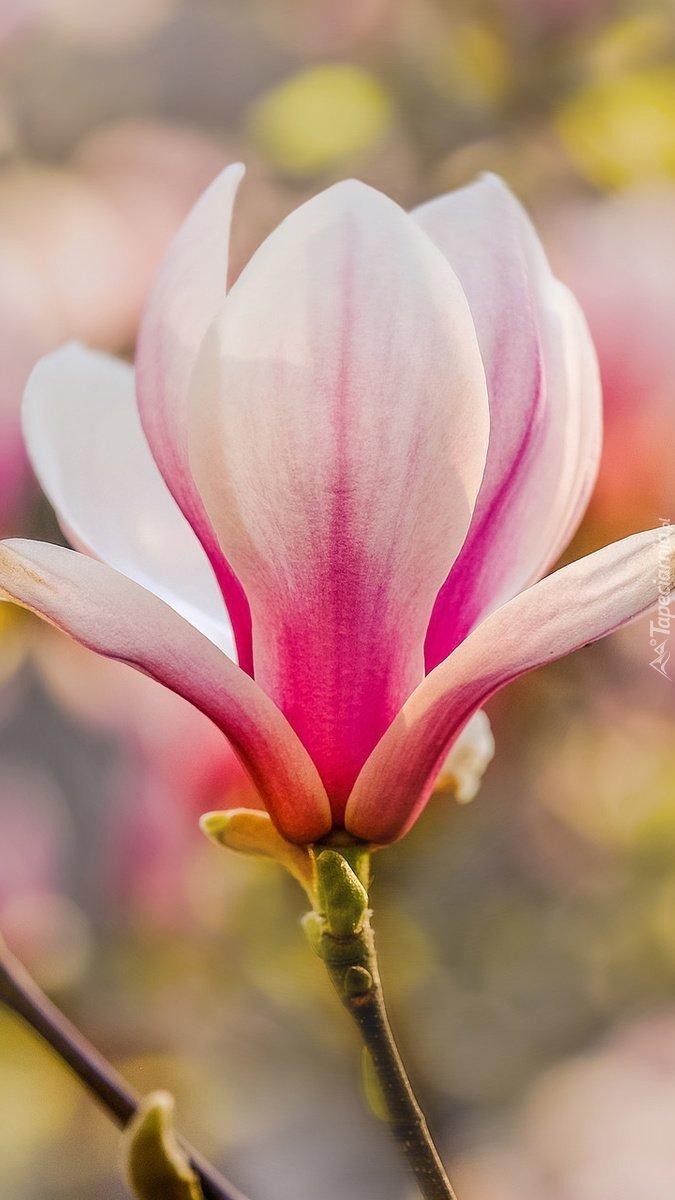 Biało-różowy kwiat magnolii