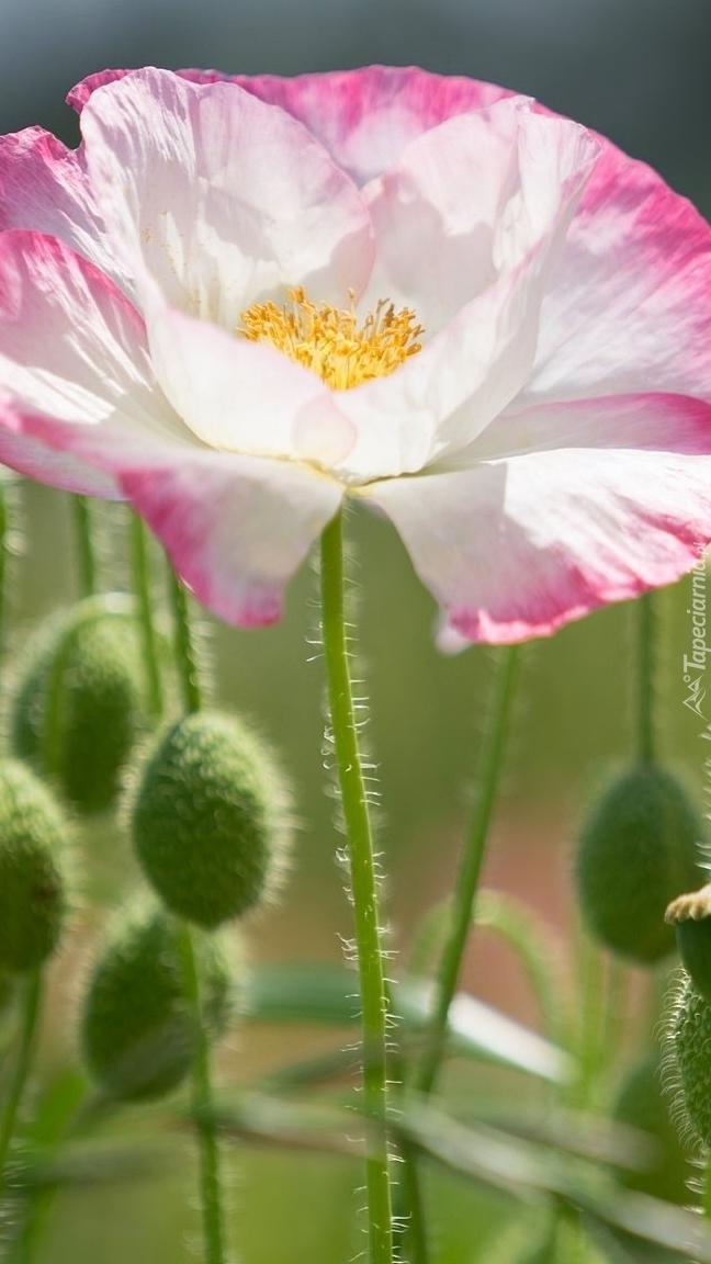 Biało-różowy mak