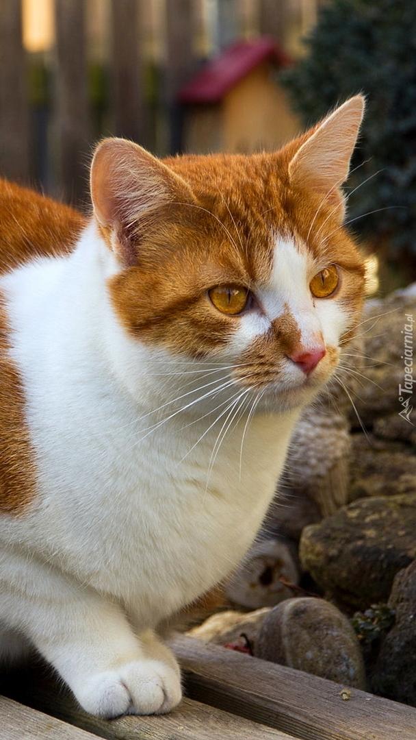 Biało-rudy kot