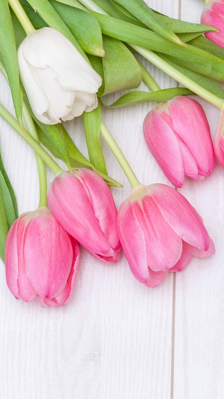 Biały i różowe tulipany