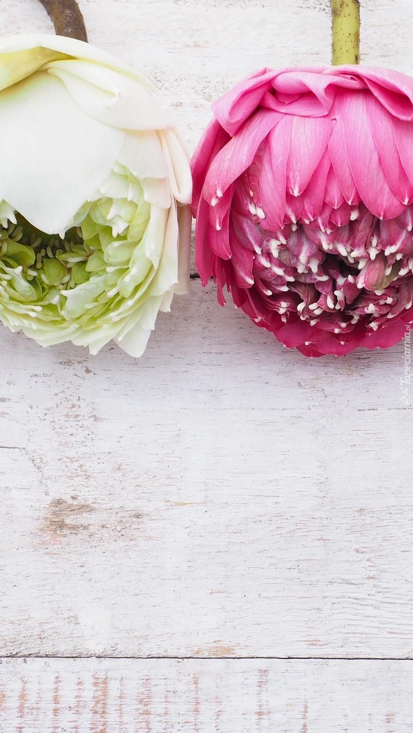 Biały i różowy pąk lotosu