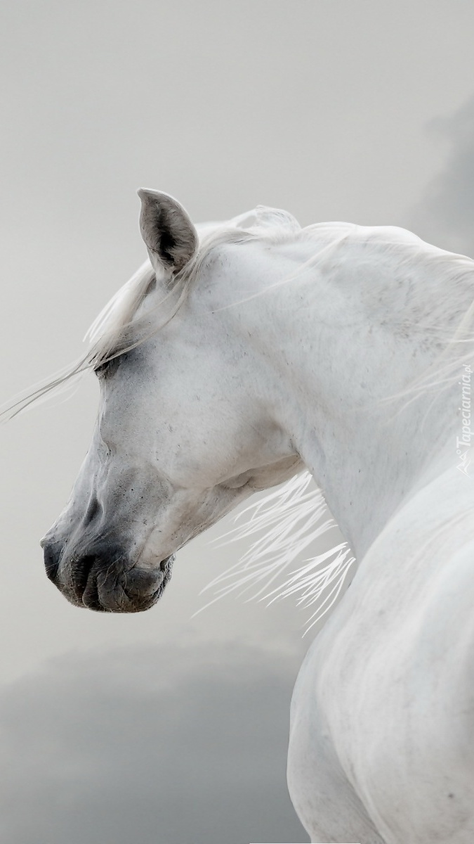 Biały koń z rozwianą grzywą