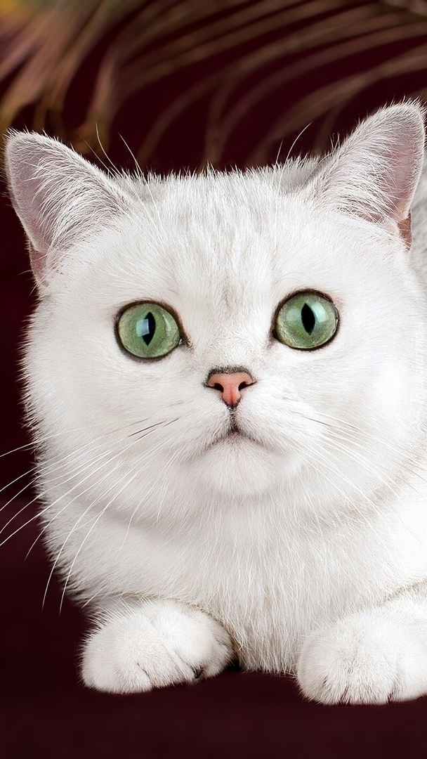 Biały kot brytyjski