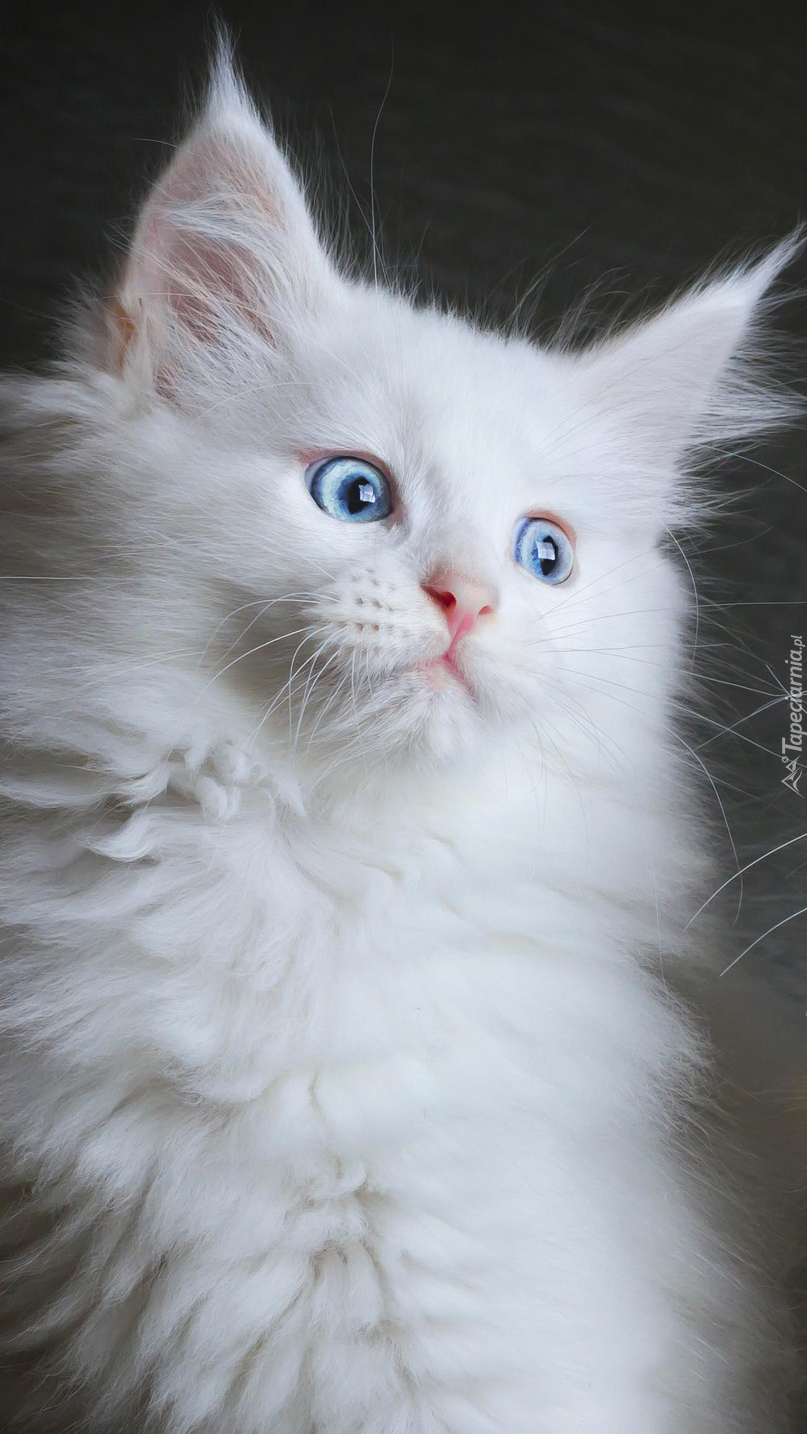 Biały kot rasy maine coon