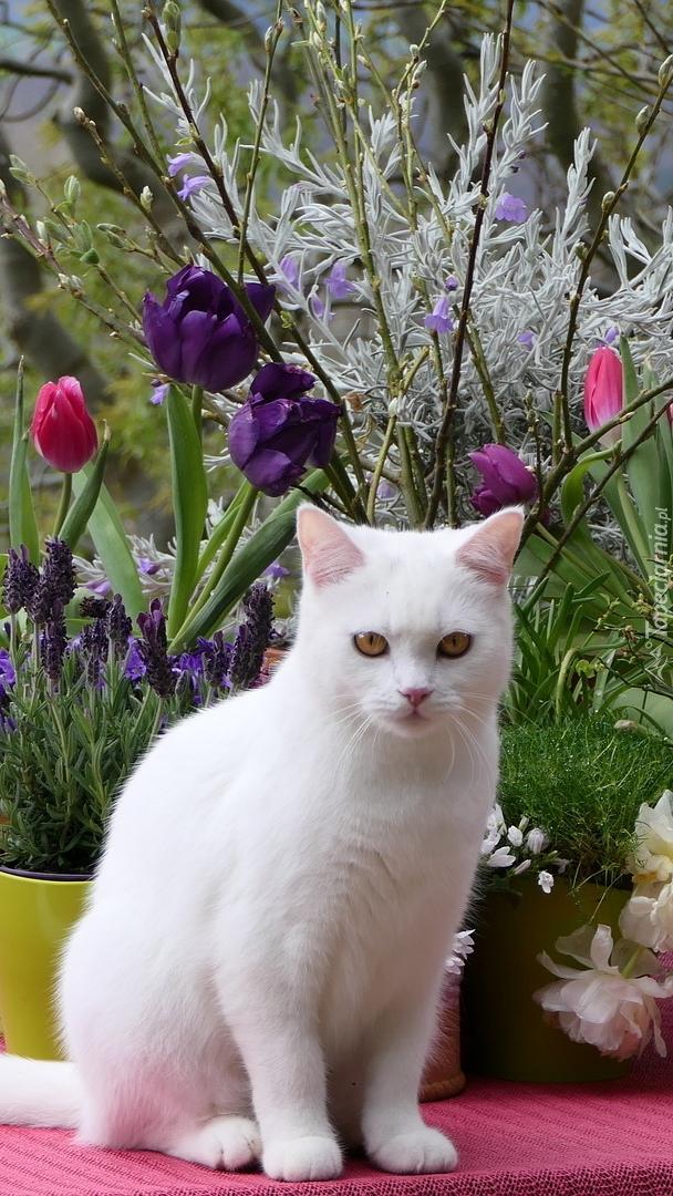 Biały kot siedzący przy kwiatach tulipanów