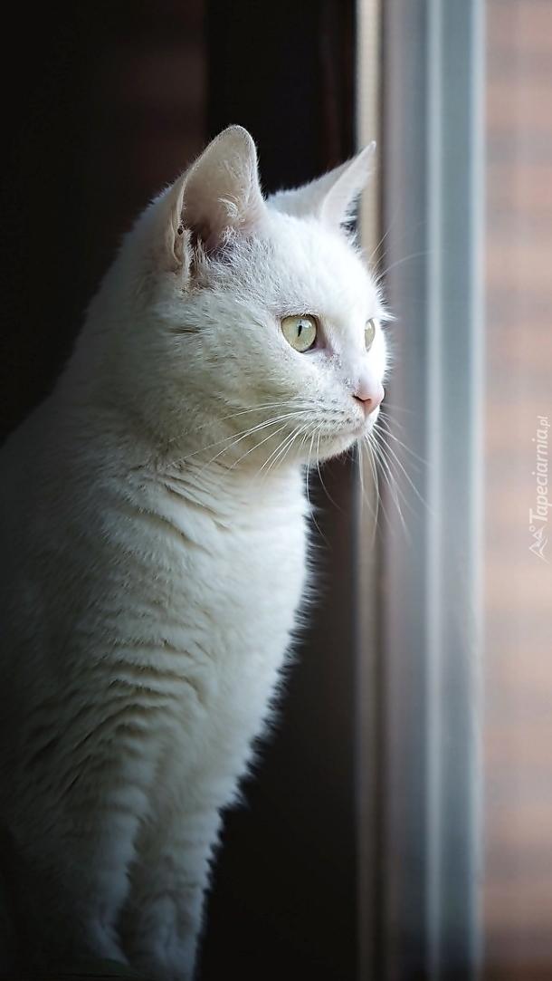 Biały kot w oknie