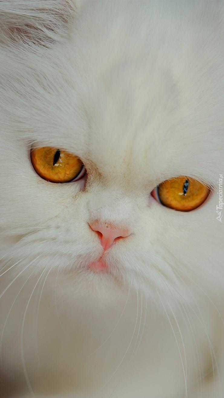 Biały kot z miodowymi oczami
