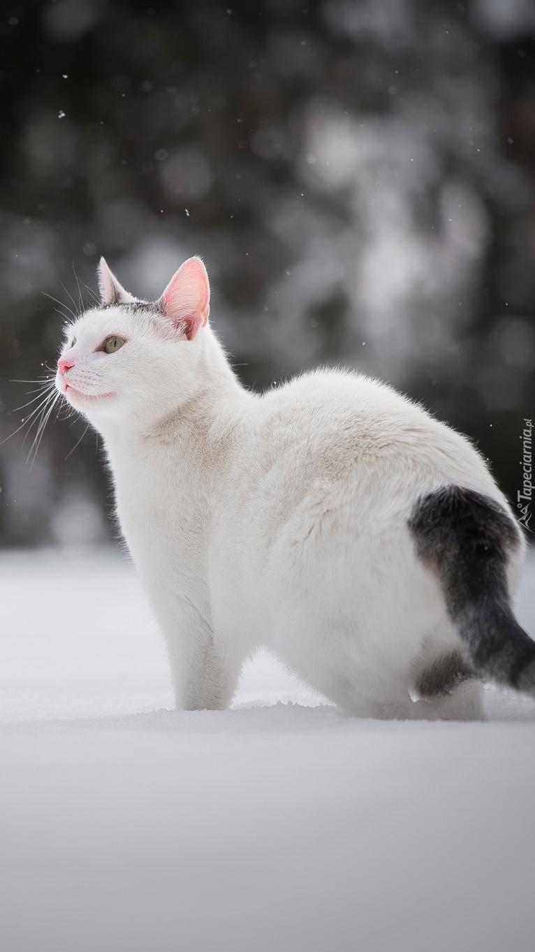 Biały kotek z ciemnym ogonem
