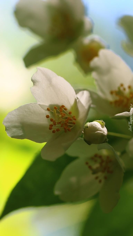 Biały kwiat jaśminu
