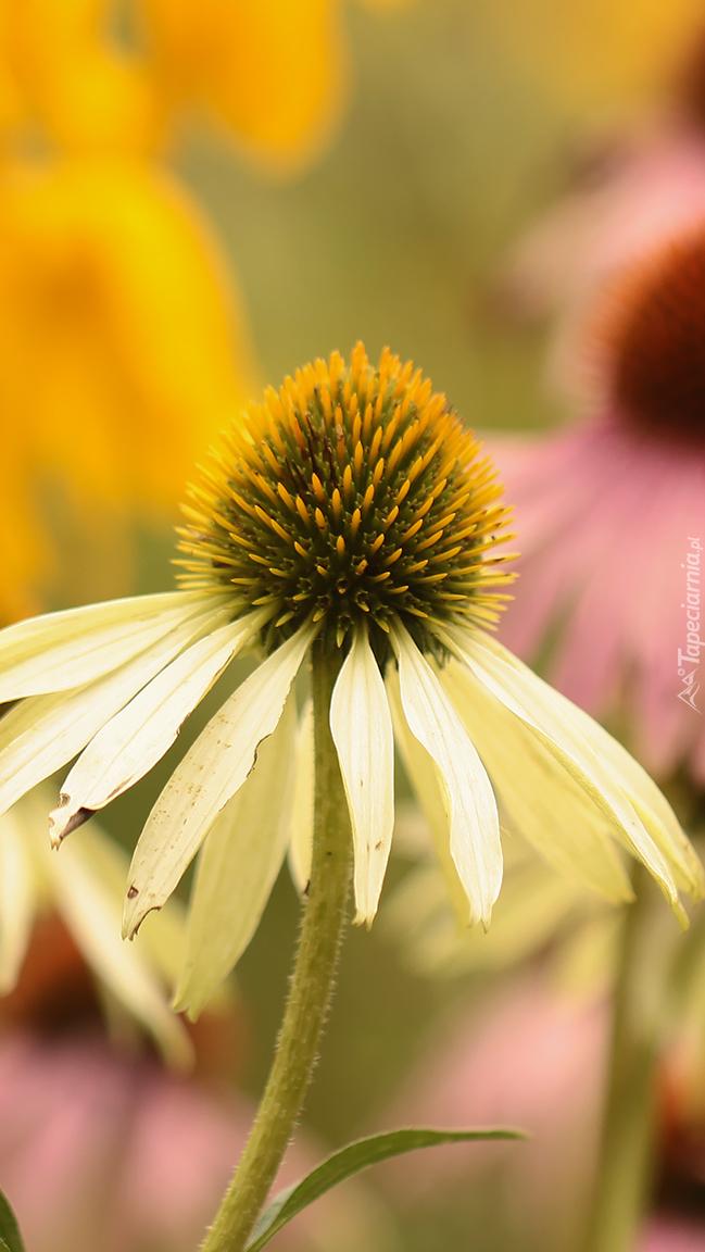 Biały kwiat jeżówki