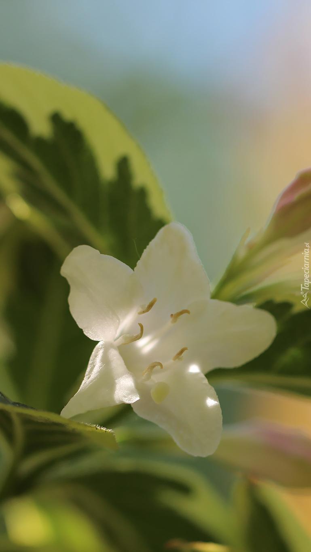 Biały kwiat krzewuszki