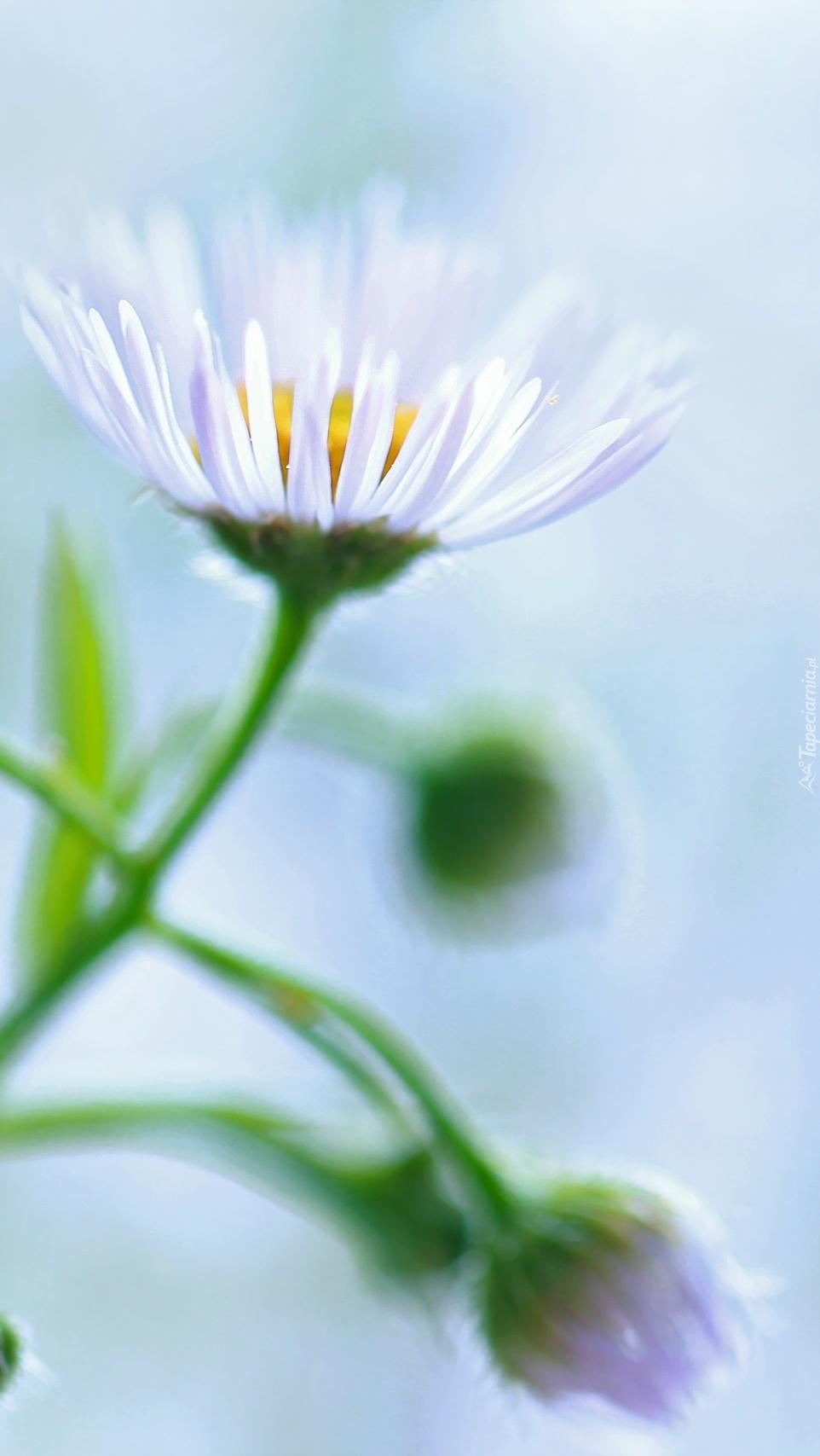 Biały kwiat przymiotna