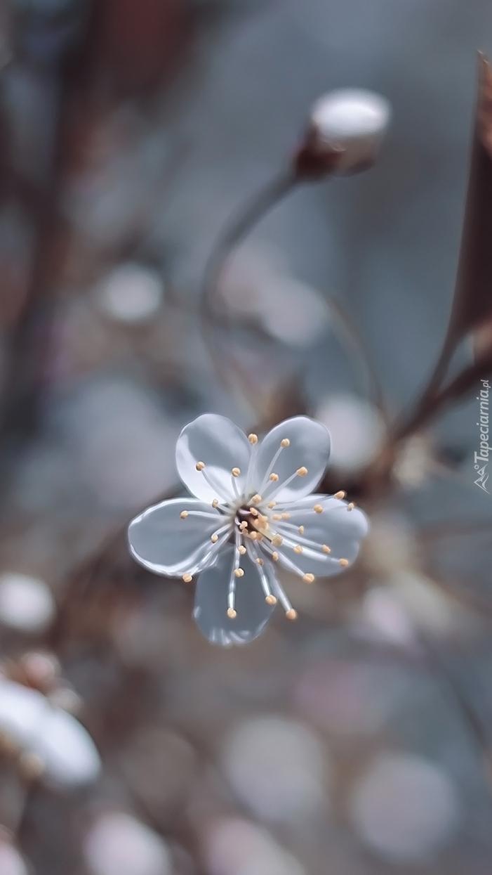 Biały kwiat wiśni