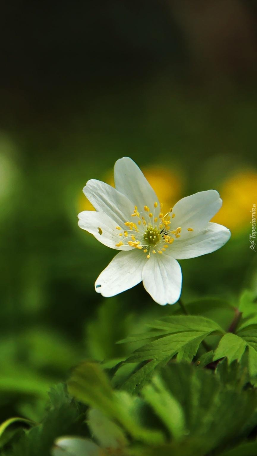 Biały kwitnący zawilec