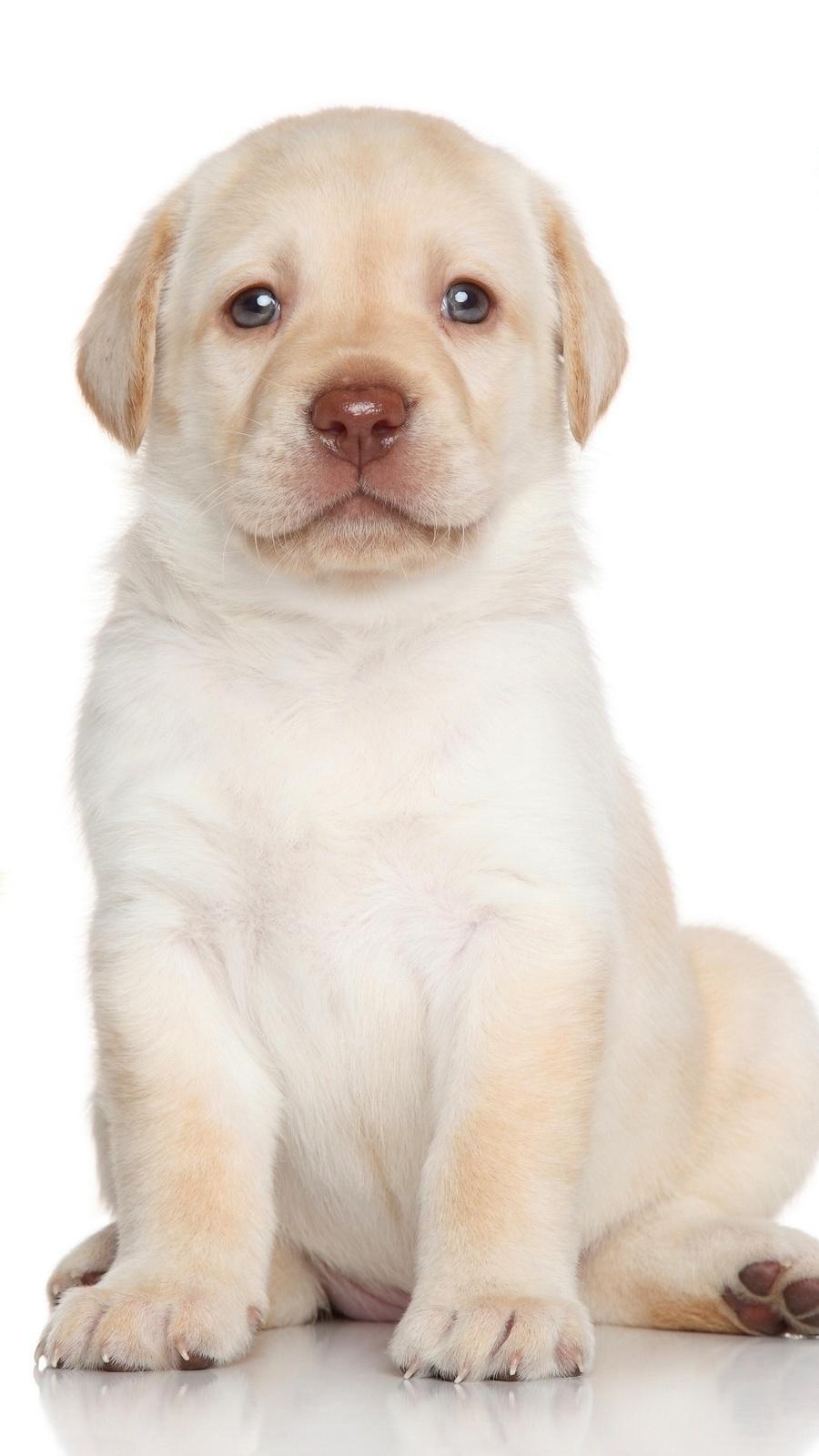Biały labradorek o jasnym spokojnym spojrzeniu
