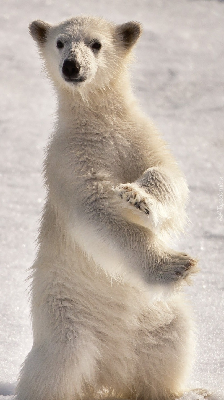Biały miś zimą na śniegu