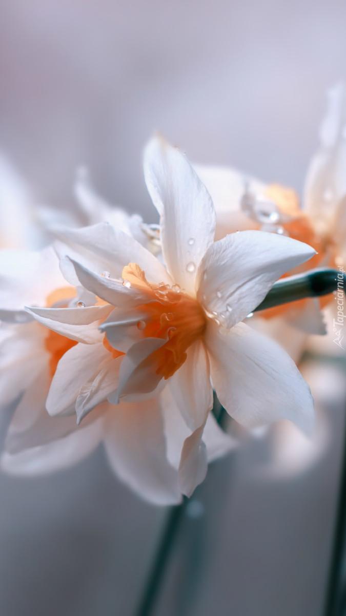 Biały narcyz w kroplach rosy