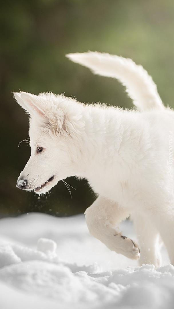 Biały owczarek szwajcarski w śniegu