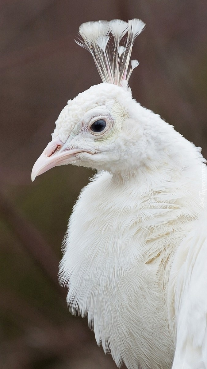 Biały paw z profilu