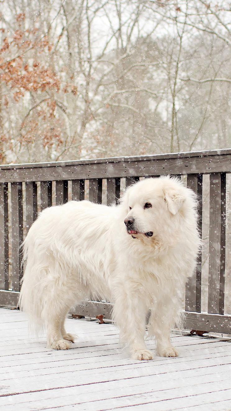 Biały pies pirenejski