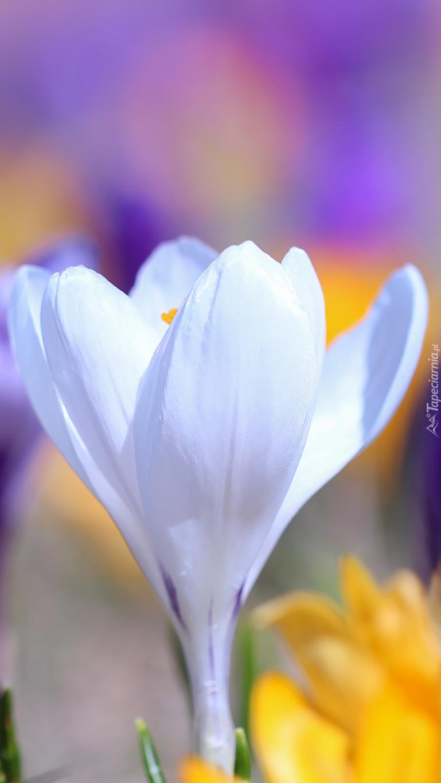 Biały rozświetlony krokus