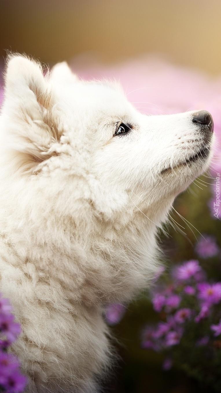 Biały szczeniak samojeda