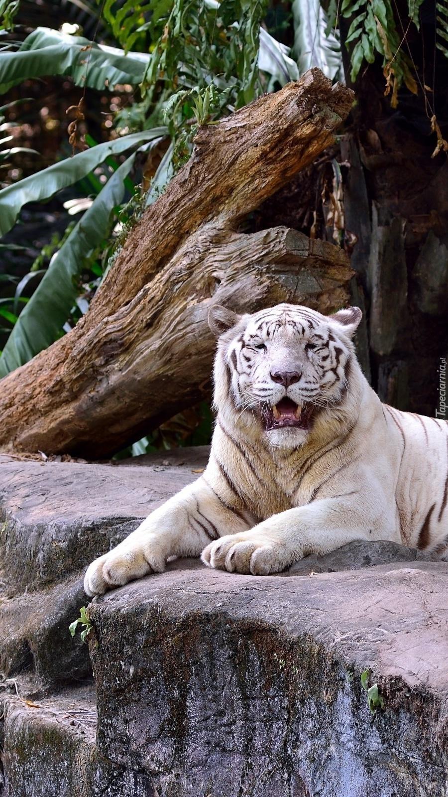 Biały tygrys leżący na skale