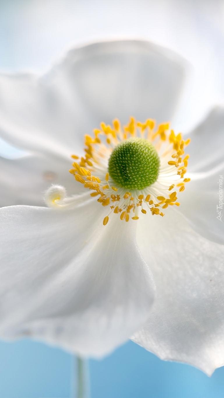 Biały zawilec w zbliżeniu