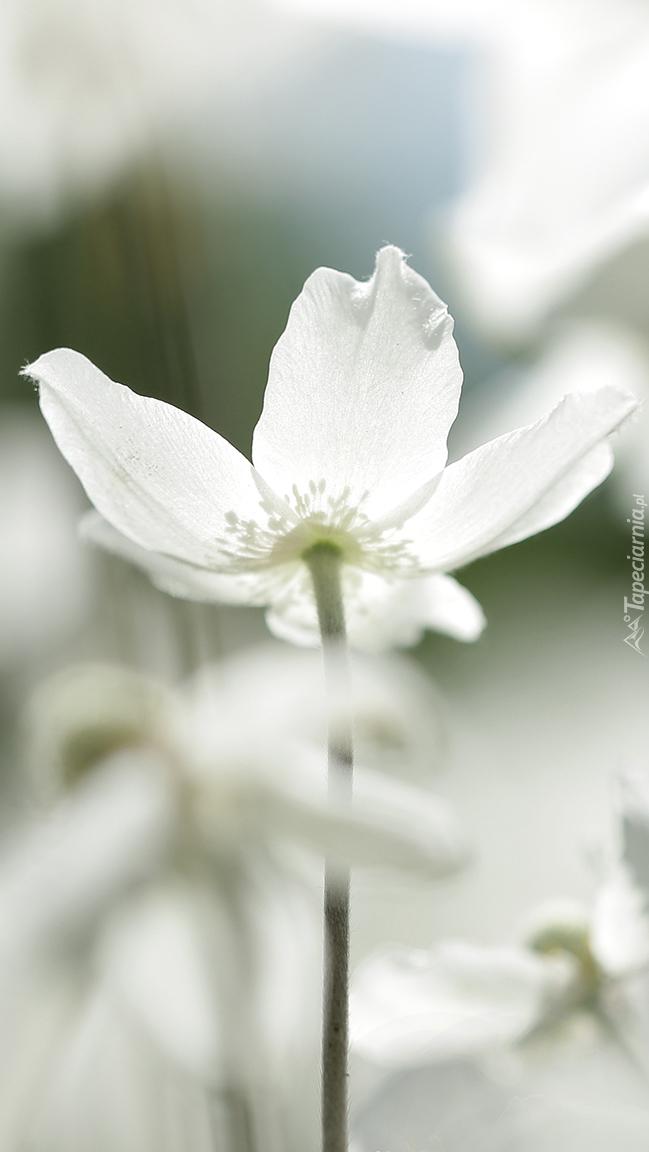 Biały zawilec wielokwiatowy