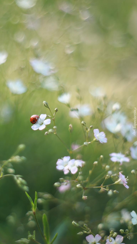 Biedronka na białym kwiatku