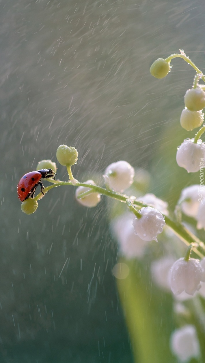 Biedronka na konwalii w deszczu