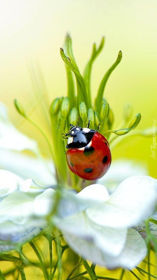 Biedronka na kwiatku czarnuszki